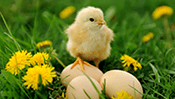 Baby Chick Jigsaw Puzzle